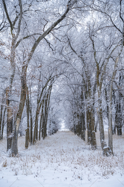 Snow covered row of trees and pathway in forest