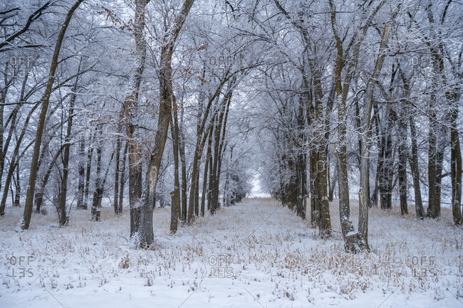 Snow falling on rows of trees