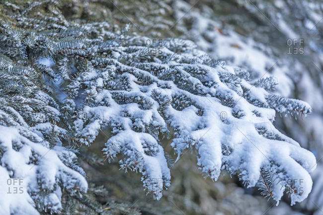 Detailed close-up of snow on pine tree needles