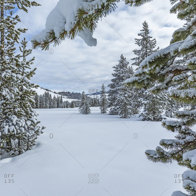 Fresh snow on pine trees in forest