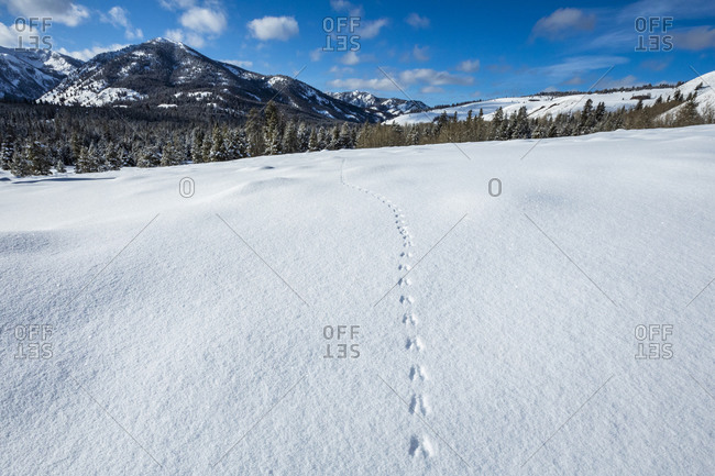 Tracks in snow leading towards forest