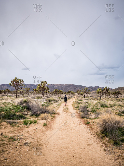 Man heading down path surrounded by Joshua trees in desert