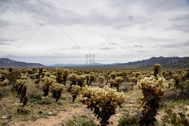 Cholla cactus field by hills under parting clouds revealing sunlight