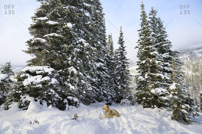 Cute Dog Laying Down In Snow With Trees