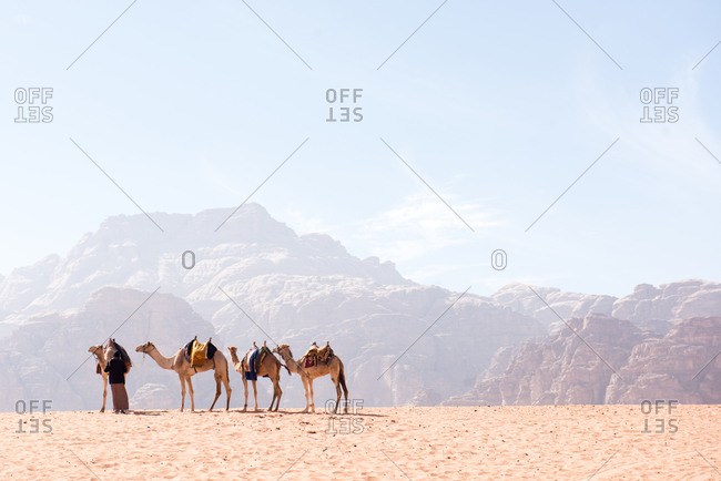 Camels rest in the dry desert sunshine