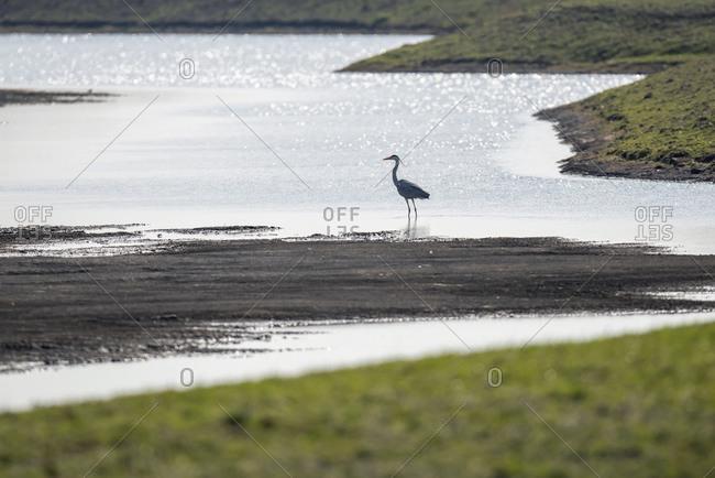 Grey heron wading in the ocean tide