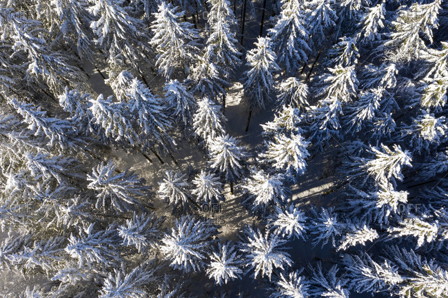 Germany- Bavaria- Dietramszell- Drone view of snow-covered spruce forest