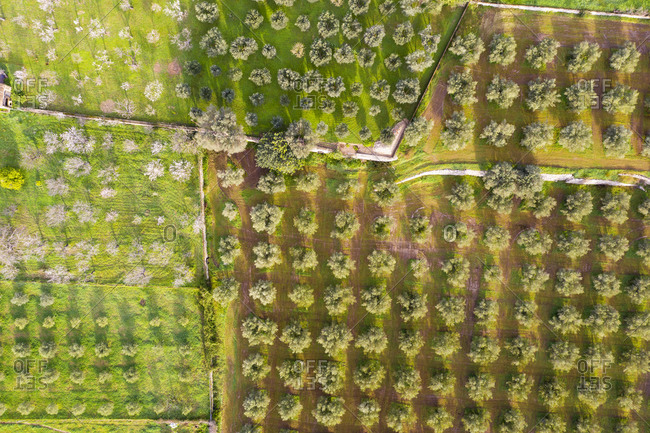 Spain- Balearic Islands- Selva- Aerial view of olive and almond trees blooming in springtime orchard