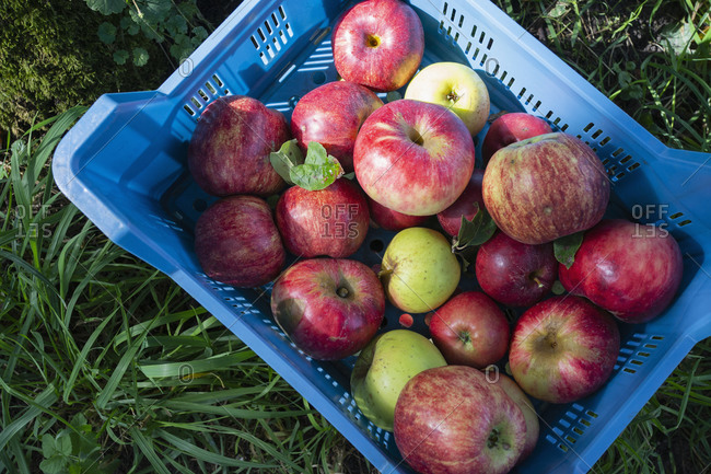 Fresh harvested red apples in crate
