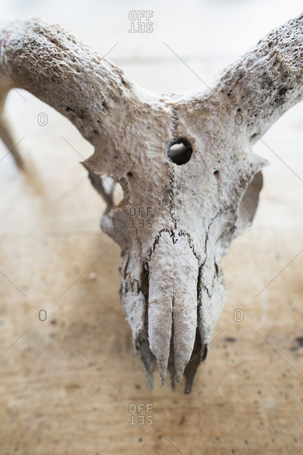 Close up animal skull with horns