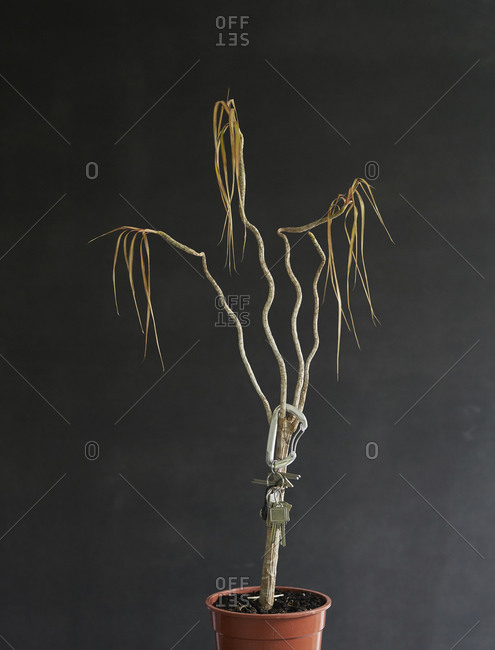 Keys hanging from dead potted plant
