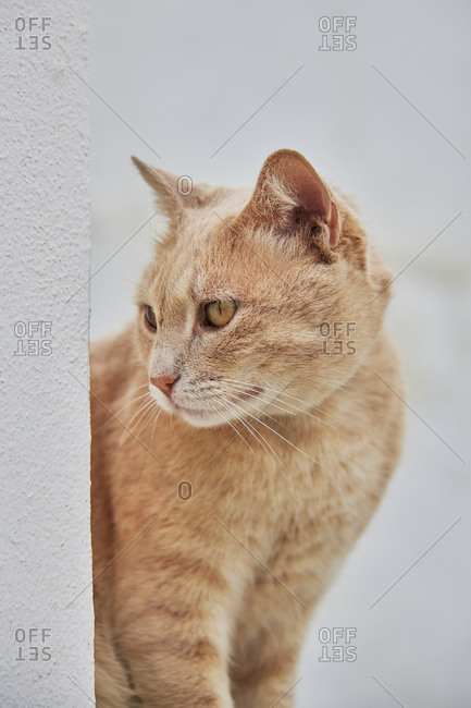 Portrait of a ginger cat looking away
