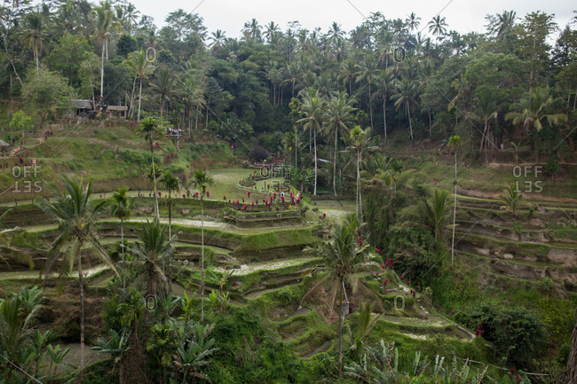 Rice paddy terraces in Tegallalang, Bali, Indonesia
