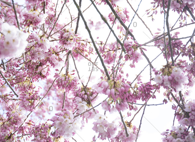 Cherry blossoms in tree, Victoria, Vancouver Island, British Columbia, Canada