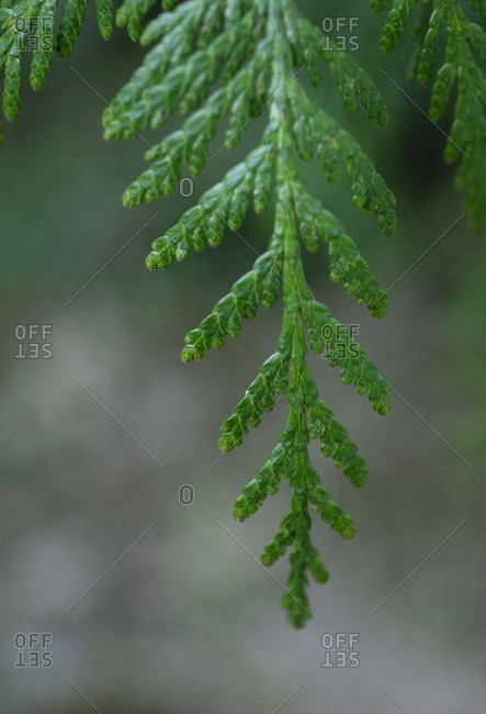 Close up of evergreen branch