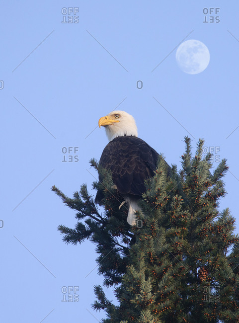 Bald eagle resting on top of pine tree with full moon in background, Vancouver Island, British Columbia, Canada