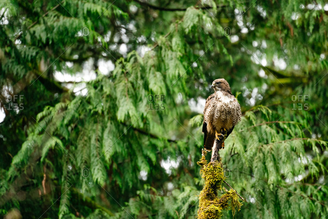Straight on view of a red-tailed hawk sitting on a broken tree branch