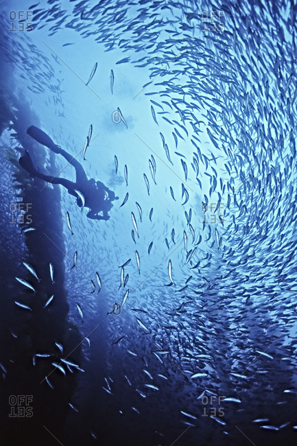 A female diver and mackrel swims in giant kelp near San Nicholas Is.