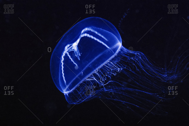 A beautiful Jellyfish in the Channel Islands off of So California