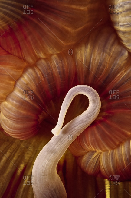 A fish-eating anemone sensually curls one tentacle over its mouth