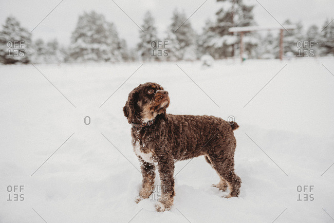 Cocker spaniel standing in snow