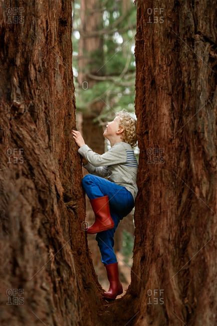 Preschooler climbing a redwood tree in New Zealand