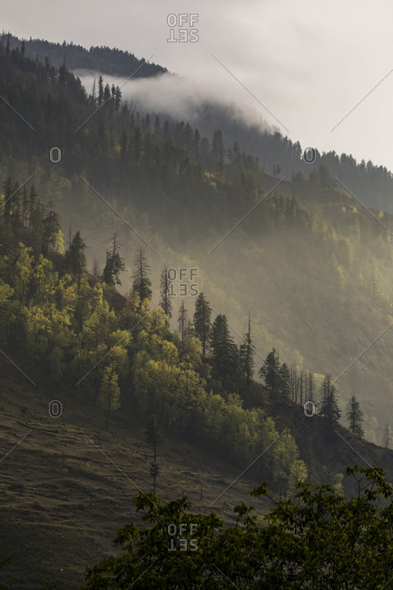 Hillside covered in pine trees and low clouds at sunset, Himalaya