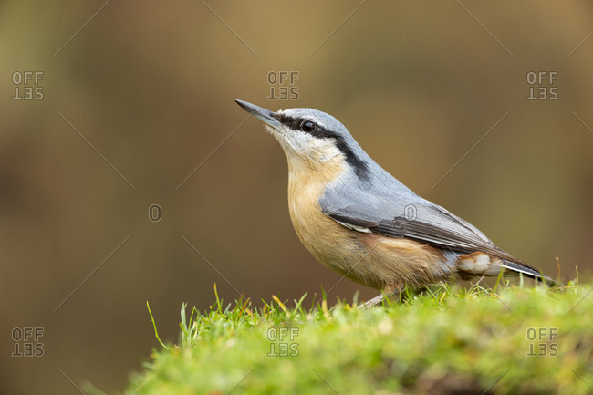 Eurasian nuthatch, Sitta europaea, perched in the grass on a uniform green background.
