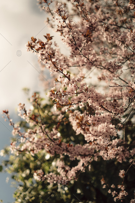 Cherry blossoms blooming on a tree