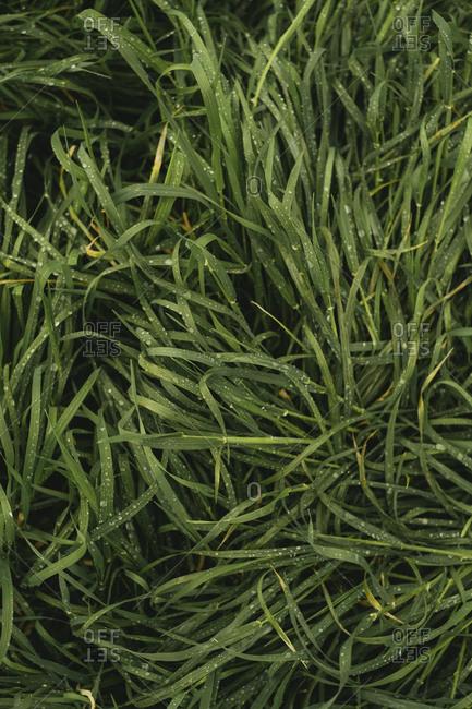Overhead view of long wet grass