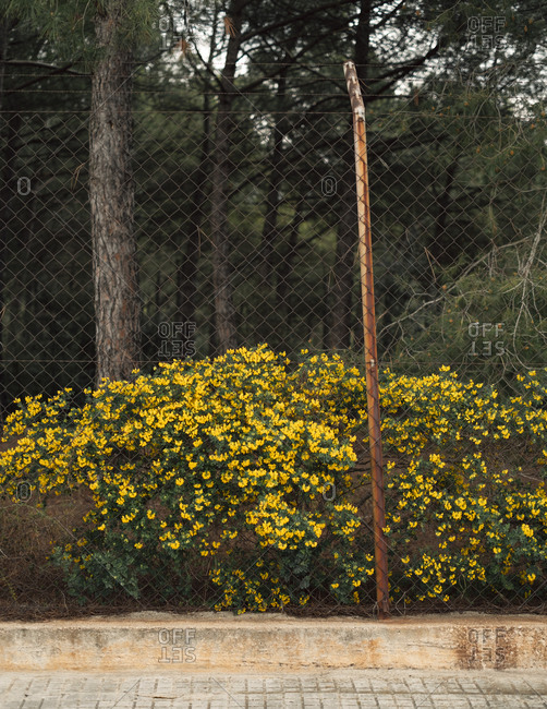 yellow flowers growing by chain-link fence