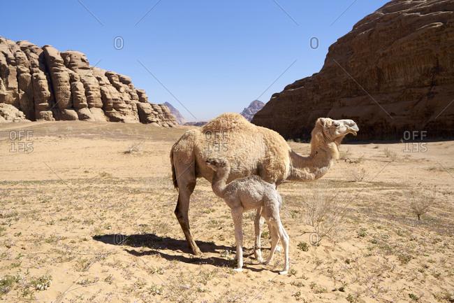 Mother and baby camel among the huge rocks in Wadi Rum desert, Jordan