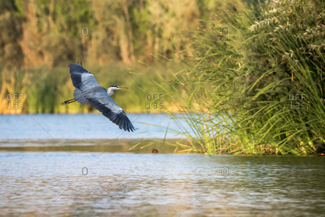 Wonderful wild heron with gray plumage floating over pond in summer day