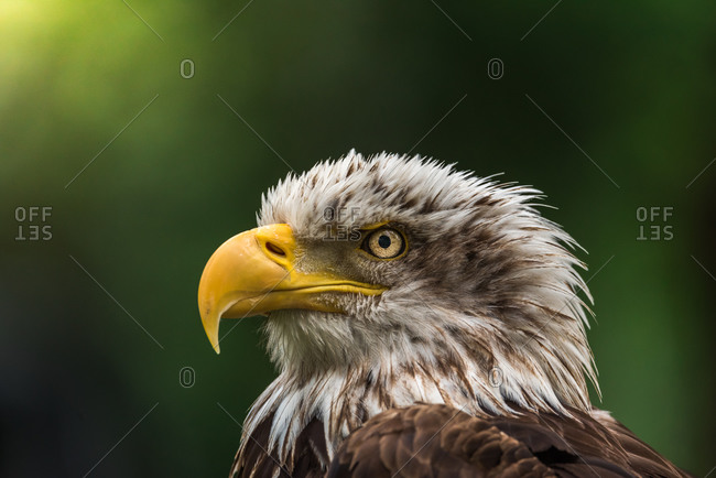 Side view of magnificent eagle observing environment in forest summer day