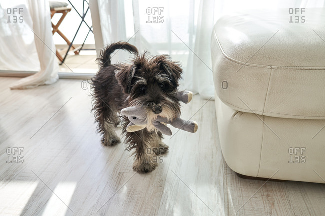 From above small purebred Miniature Schnauzer dog with soft toy in mouth standing on floor in room