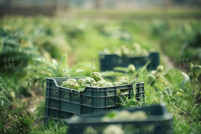 Plastic containers with ripe artichokes placed on grass during harvest on summer day on plantation