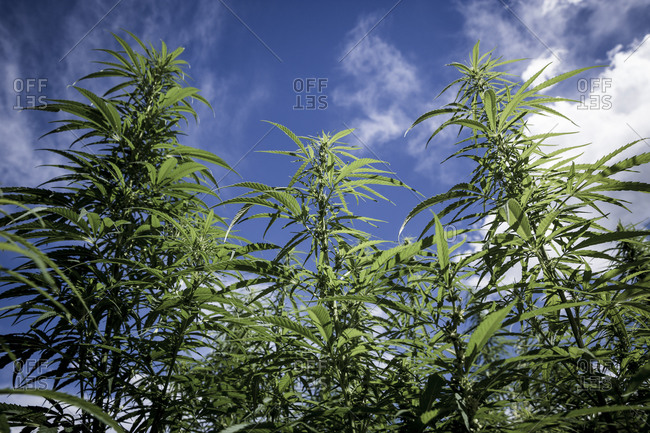 A maze made of marijuana plants in the town of Bressanone, South Tyrol, Italy.