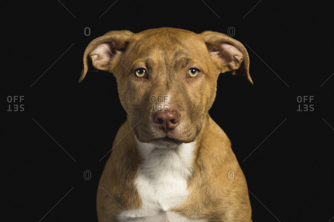 The beautiful pit bull puppy poses looking at the camera in the studio with black background