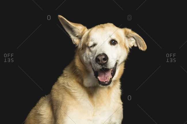 funny portrait of a dog with one smiling eye looking at the camera on a black background