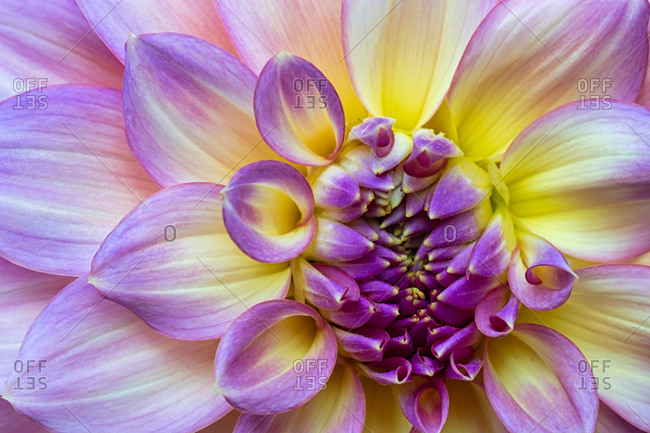 Close-Up of a Yellow and Violet Dahlia