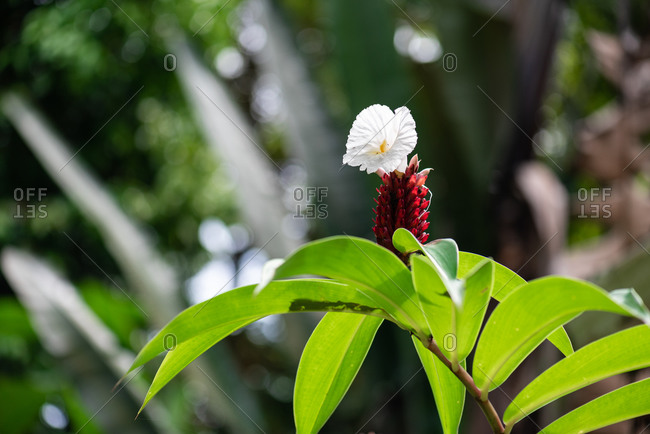 Close-up of a white flower in the rainforest
