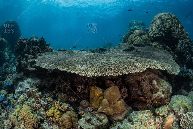 Underwater reefscape of a giant plate coral amongst smaller hard corals at Agincourt Reef on the Great Barrier Reef, Queensland, Australia