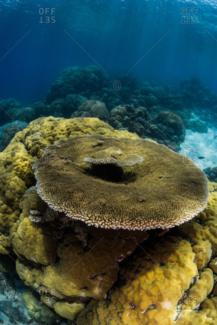 Underwater reefscape of a giant plate coral on top of a boulder coral at Agincourt Reef on the Great Barrier Reef, Queensland, Australia