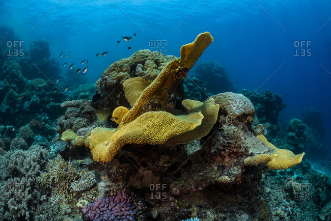 Underwater reefscape of giant hard corals at Agincourt Reef on the Great Barrier Reef, Queensland, Australia