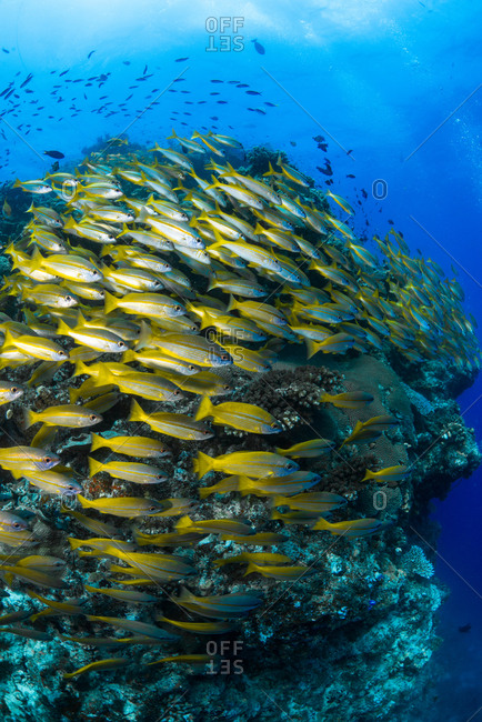 School of yellow stripe goatfish swimming at the Great Barrier Reef in Queensland, Australia