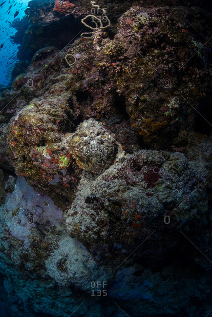 A stonefish hides amongst the corals at the Great Barrier Reef in Queensland, Australia