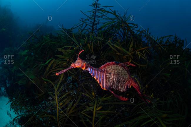 Weedy Seadragon swimming underwater amongst kelp in Eaglehawk Neck, Tasmania, Australia