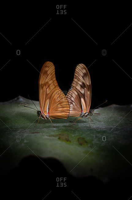 Closeup beautiful butterflies with thin brown wings sitting on green leaf against black background in nature