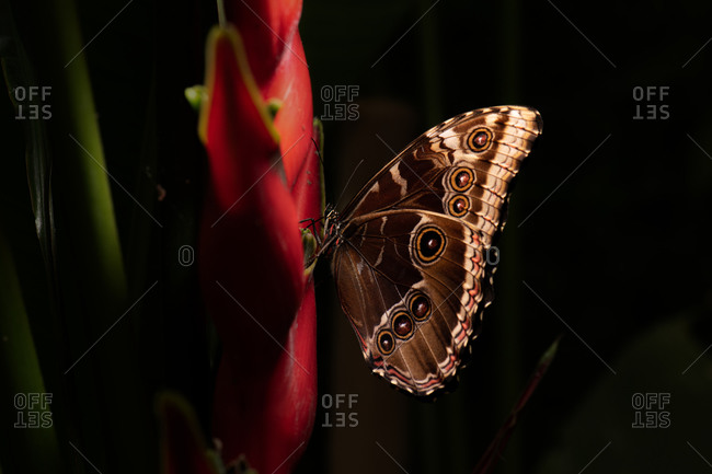 Closeup amazing brown butterfly sitting on green leaf in nature