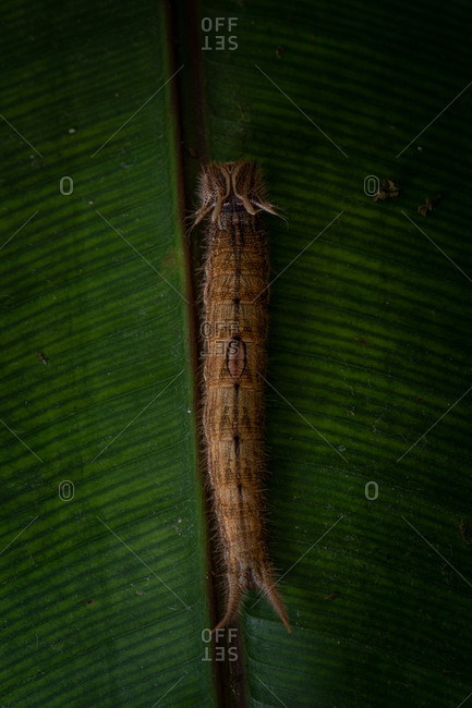 Top view of brown hairy caterpillar crawling on surface of green leaf in nature